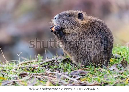 Rágcsáló fajok Németország dél-amerika etetés folyó Stock fotó © dirkr