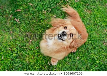 mixed breed cute little puppy on grass stock photo © kasto