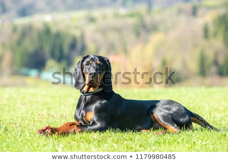 Black Polish Hunting Dog Stock photo © CaptureLight