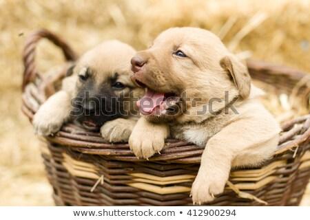 ラブラドル·レトリーバー犬 子犬 座って フロント 表示 ストックフォト © silense