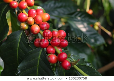 Kona Coffee Bean Background Stock photo © aleishaknight