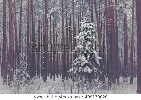 Solitário enfeitar inverno forrest floresta Foto stock © svetography