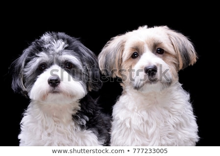 cute havanese portrait in dark background stock photo © vauvau