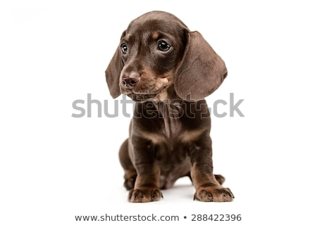 Stock photo: Lovely puppy dachshund looking in white studio
