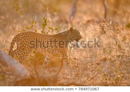 Fiatal leopárd sétál fű park Dél-Afrika Stock fotó © simoneeman