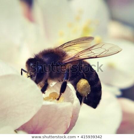 The bee collects nectar from flowers cherry plum. Flowering cher Stock photo © Yatsenko