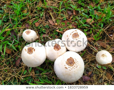 parasol mushroom 15 stock photo © lianem