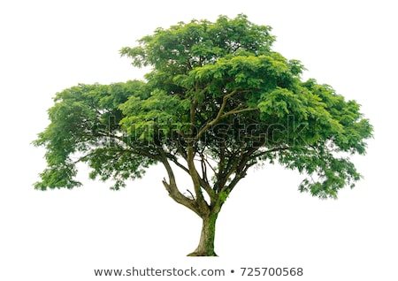 Stock photo: Big tree Linden isolated. Green Wood on white background