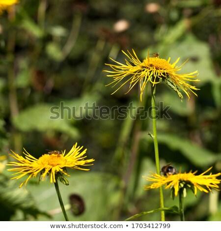 Heartleaf Oxeye with yellow petals Stock photo © Klinker