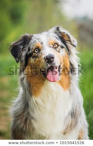 australiano · pastor · branco · cão · animal · cachorro - foto stock © cynoclub