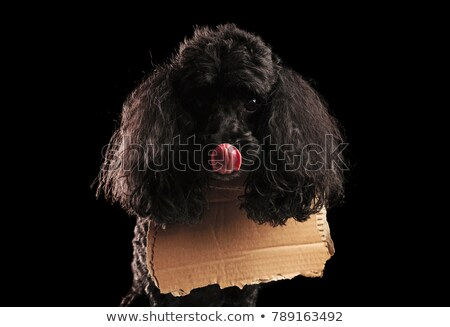 hungry homeless poodle  licks its mouth and wears  blank carton  Stock photo © feedough