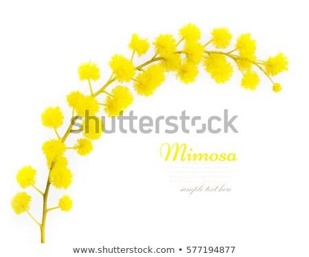 Geel pluizig bloem tak geïsoleerd witte Stockfoto © orensila