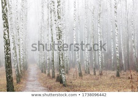 birch trees in the fog stock photo © craig
