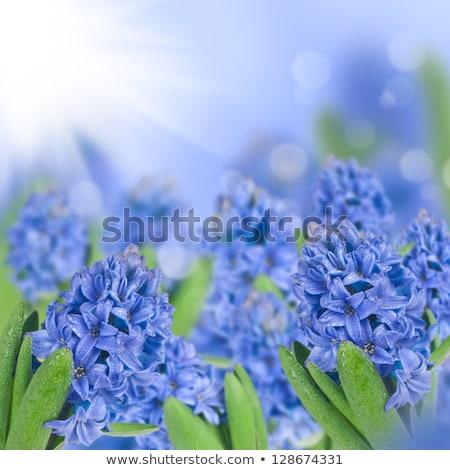 azul · jacinto · flores · grama · verde · flor · primavera - foto stock © neirfy
