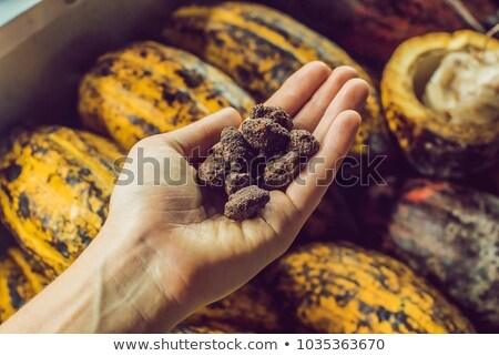 Candied cocoa beans on the palm and cocoa fruits Stock photo © galitskaya