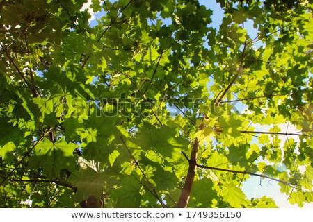 Fresche verde foglia d'acero abstract naturale bokeh Foto d'archivio © Anna_Om