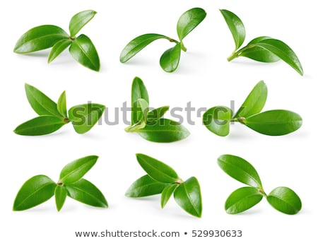 Wild blueberry berries with green leaves isolated Stock photo © LoopAll