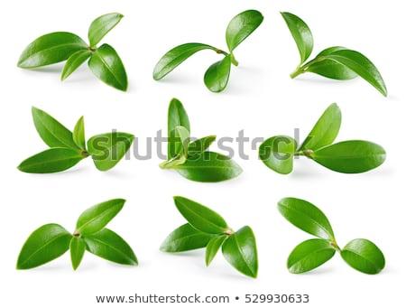mirtilos · folhas · saboroso · produtos · acondicionamento · floresta - foto stock © loopall