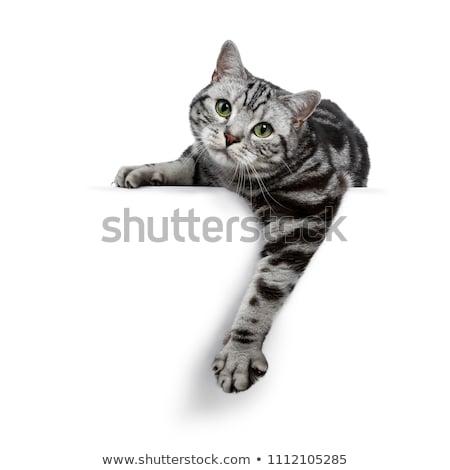 Stockfoto: Silver Tabby Blotched British Shorthair Cat On Black