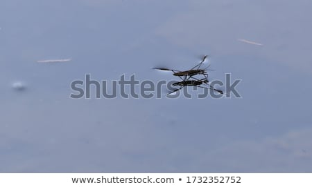 Water Strider or Skater Standing on Surface of Water Stock photo © diego_cervo