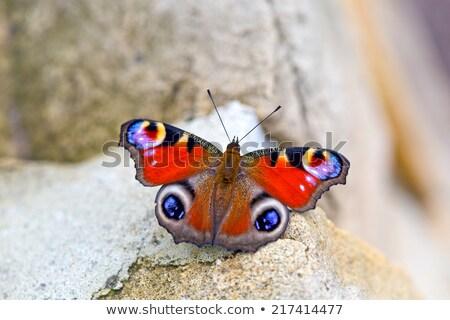 европейский павлин бабочка сидят кусок древесины Сток-фото © nailiaschwarz