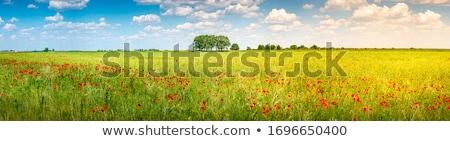 Rosso papavero campo grano natura sfondo Foto d'archivio © fisfra