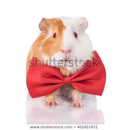 guinea pig wearing a red bow tie stock photo © feedough