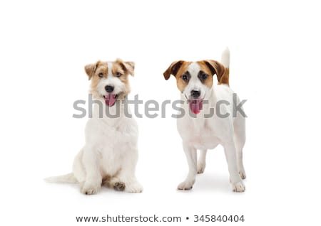 Stock photo : Long haired jack russel terrier dog isolated on a white