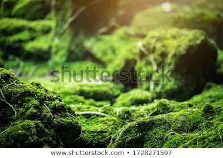 Moss on forest floor Stock photo © Arrxxx