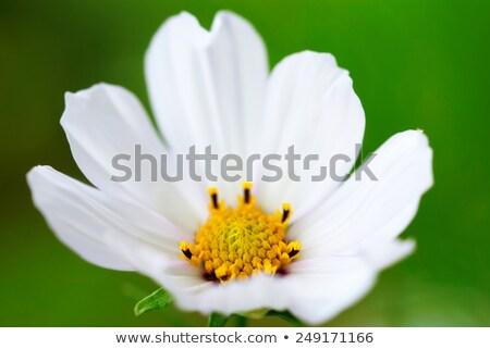 White Cosmea Flower Foto d'archivio © Nelosa