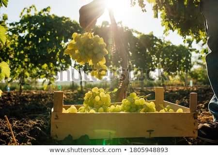 Winegrowers with bunch of grapes Stock photo © photography33