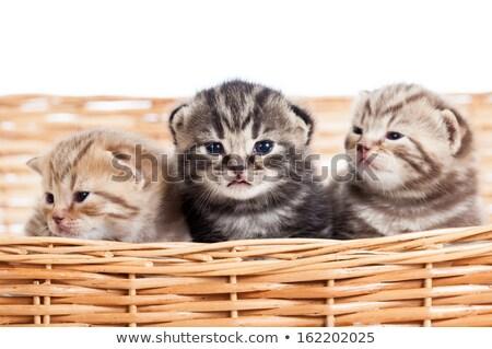 kitten looking up in basket Stock photo © gewoldi