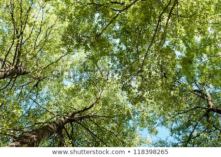 Birch Tree Canopy Stock photo © vtorous