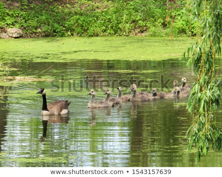 canadian goose swimming with their young stock photo © bigjohn36