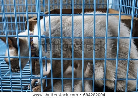 Madre cat gattino gabbia razza blu Foto d'archivio © ivonnewierink