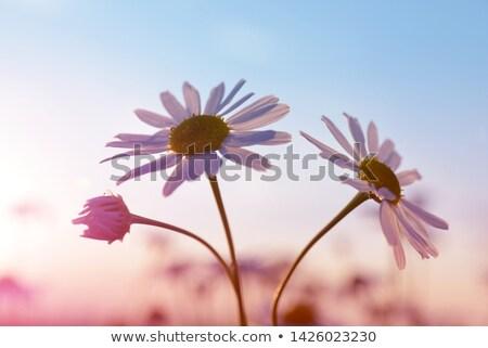 daisy sunrise stock photo © alptraum