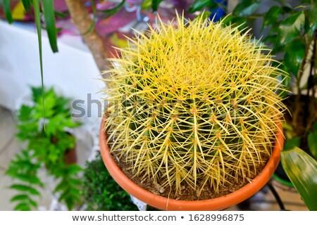 kaktusz · növény · izolált · közelkép · zöld · kert - stock fotó © stocker