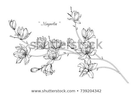 floraison · branche · magnolia · dessinés · à · la · main · vivre · grandes · lignes - photo stock © Concluserat