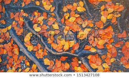 Deep pile of dead oak leaves  Stock photo © sarahdoow