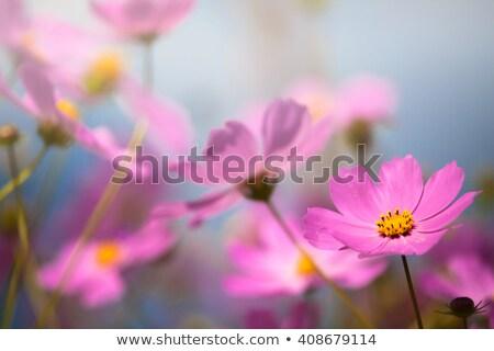 Pink daisy in focus Stock photo © olandsfokus