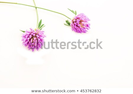 Essence of red clover flowers isolated Stock photo © marimorena