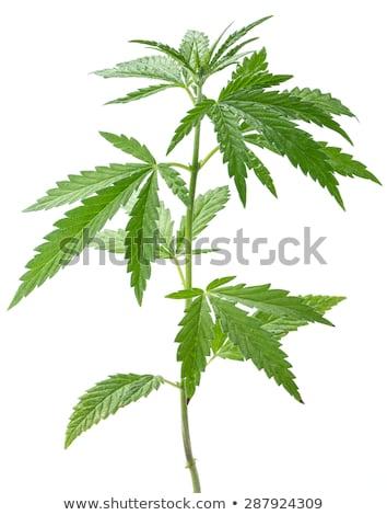 kenevir · esrar · sigara · yeşil · yaprak · yalıtılmış · beyaz - stok fotoğraf © mady70