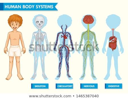 Body systems of boy Stock photo © bluering