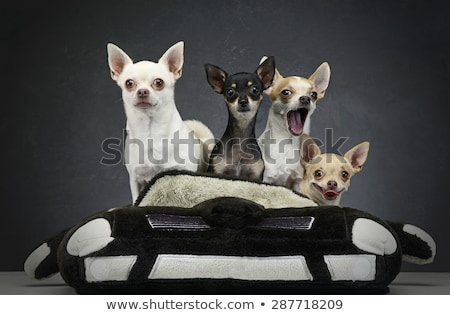 group of chihuahua sitting in a toy car Stock photo © vauvau