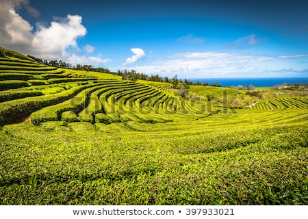 Tea plantation in Porto Formoso. Azores, Portugal Europe. Stock photo © CaptureLight