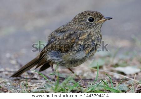 Blackbird séance humide herbe nature paysage Photo stock © Rosemarie_Kappler