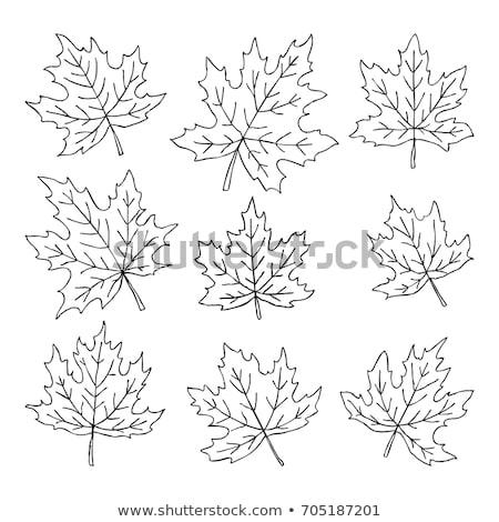 Foglia d'acero line cartoon disegno isolato bianco Foto d'archivio © hittoon
