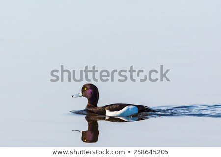 tufted duck on water surface Stock photo © taviphoto