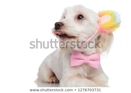 close up of elegant panting bichon looking up to side Stock photo © feedough