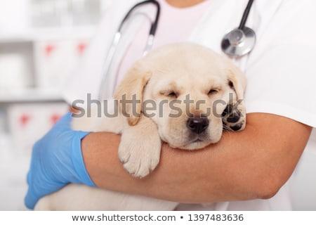Cute labrador puppy dog asleep at the veterinary examination tab Stock photo © ilona75